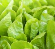 φυτό μαρουλιού Στοκ Εικόνες