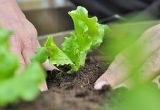φυτό μαρουλιού Στοκ εικόνα με δικαίωμα ελεύθερης χρήσης