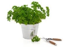 φυτό μαϊντανού χορταριών Στοκ εικόνες με δικαίωμα ελεύθερης χρήσης