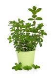 φυτό μεντών χορταριών στοκ φωτογραφίες με δικαίωμα ελεύθερης χρήσης