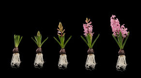 Φυτό με τα αναπτύσσοντας στάδια λουλουδιών που απομονώνονται Στοκ φωτογραφίες με δικαίωμα ελεύθερης χρήσης