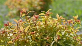 Φυτό με τα κόκκινα φύλλα που ταλαντεύονται το σε αργή κίνηση βίντεο απόθεμα βίντεο