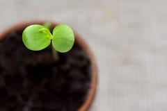 φυτό μηλίτη μωρών Στοκ Εικόνες