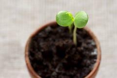 φυτό μηλίτη μωρών Στοκ εικόνα με δικαίωμα ελεύθερης χρήσης
