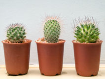 φυτό μικρά τρία κάκτων Στοκ Εικόνες