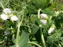 φυτό μπιζελιών Στοκ Εικόνες