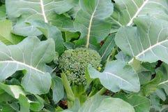 φυτό μπρόκολου Στοκ Εικόνες