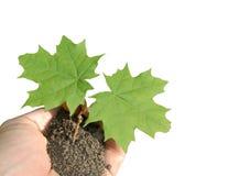 φυτό μωρών Στοκ Εικόνες