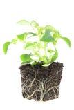 φυτό μωρών impatiens στοκ φωτογραφία