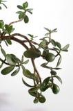 φυτό νεφριτών Στοκ Φωτογραφία