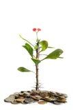 φυτό νομισμάτων Στοκ Εικόνες
