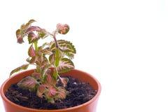 Φυτό 'Οικωών Στοκ φωτογραφίες με δικαίωμα ελεύθερης χρήσης