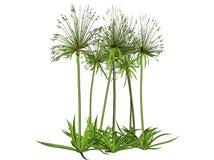 φυτό παπύρων που δίνεται Στοκ εικόνα με δικαίωμα ελεύθερης χρήσης