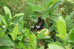 φυτό πεταλούδων Στοκ φωτογραφία με δικαίωμα ελεύθερης χρήσης