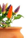 φυτό πιπεριών στοκ εικόνες