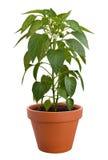 φυτό πιπεριών Στοκ εικόνα με δικαίωμα ελεύθερης χρήσης