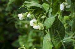 φυτό πράσινων μπιζελιών Στοκ φωτογραφία με δικαίωμα ελεύθερης χρήσης
