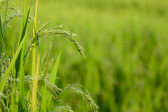 Φυτό ρυζιού με το σιτάρι Στοκ εικόνα με δικαίωμα ελεύθερης χρήσης