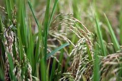 Φυτό ρυζιού με το σιτάρι, Jatiluwih, Ινδονησία Στοκ Φωτογραφίες