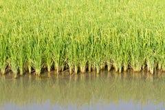 Φυτό ρυζιού στον ορυζώνα Στοκ εικόνες με δικαίωμα ελεύθερης χρήσης