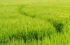 Φυτό ρυζιού στο πεδίο ρυζιού Στοκ Φωτογραφία