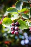 φυτό Σασκατούν μούρων Στοκ Εικόνες