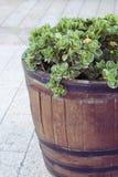 Φυτό σε ένα βαρέλι Στοκ Εικόνες