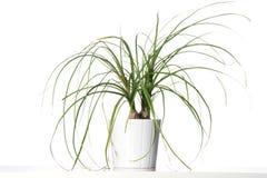 Φυτό σπιτιών σε ένα άσπρο δοχείο. Στοκ φωτογραφία με δικαίωμα ελεύθερης χρήσης