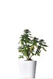 Φυτό σπιτιών σε ένα άσπρο δοχείο. Στοκ φωτογραφίες με δικαίωμα ελεύθερης χρήσης