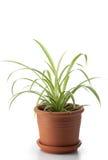 φυτό σπιτιών dracaena Στοκ φωτογραφία με δικαίωμα ελεύθερης χρήσης