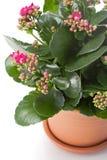 φυτό σπιτιών kalanchoe Στοκ εικόνα με δικαίωμα ελεύθερης χρήσης