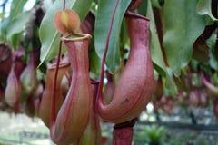 φυτό σταμνών τροπικό Στοκ εικόνες με δικαίωμα ελεύθερης χρήσης