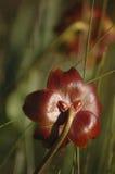 φυτό σταμνών Στοκ εικόνες με δικαίωμα ελεύθερης χρήσης