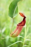 φυτό σταμνών Στοκ Φωτογραφίες