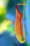 φυτό σταμνών Στοκ εικόνα με δικαίωμα ελεύθερης χρήσης