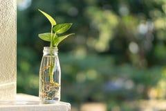 Φυτό στο μπουκάλι Στοκ Φωτογραφίες