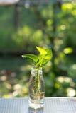 Φυτό στο μπουκάλι Στοκ Εικόνα