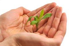 Φυτό στο χέρι Στοκ Εικόνα