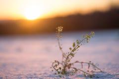 Φυτό στο χιόνι Στοκ φωτογραφίες με δικαίωμα ελεύθερης χρήσης