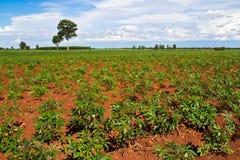φυτό ταπιόκας πεδίων μανιόκ& στοκ φωτογραφία