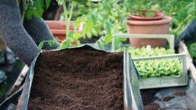 φυτό του σπόρου Χέρια Maile που λειτουργούν με το χώμα απόθεμα βίντεο
