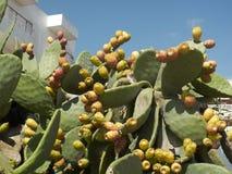 Φυτό τραχιών αχλαδιών Στοκ Φωτογραφίες