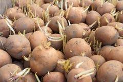 φυτό των βολβών πατατών Στοκ Φωτογραφίες
