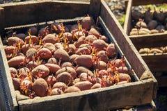 φυτό των πατατών Κήπος Στοκ φωτογραφίες με δικαίωμα ελεύθερης χρήσης