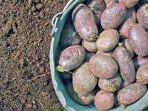 Φυτό των πατατών Στοκ Φωτογραφία
