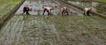 Φυτό των σποροφύτων ρυζιού Στοκ εικόνες με δικαίωμα ελεύθερης χρήσης