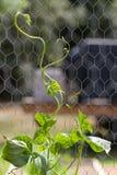 Φυτό φασολιών Πολωνού που αναρριχείται επάνω στην υποστήριξη καλωδίων κοτόπουλου Στοκ εικόνες με δικαίωμα ελεύθερης χρήσης