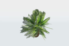 φυτό φοινικών μικρό Στοκ Φωτογραφίες