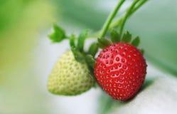 Φυτό φραουλών Στοκ Φωτογραφία