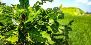 Φυτό φύλλων της Noni στοκ εικόνα με δικαίωμα ελεύθερης χρήσης